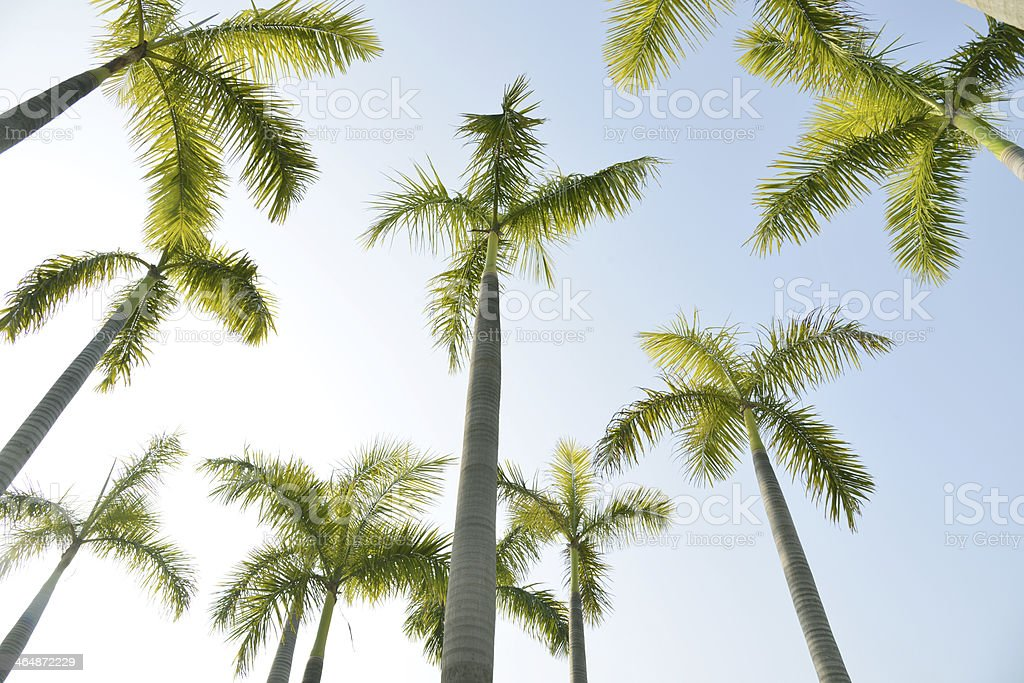 Rows of palm trees over   blue sky stock photo
