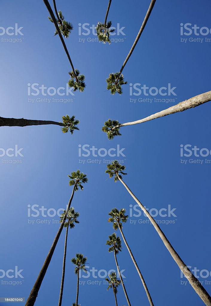 Rows of Palm Trees royalty-free stock photo