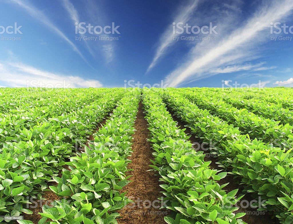Rows of plants royalty-free stock photo