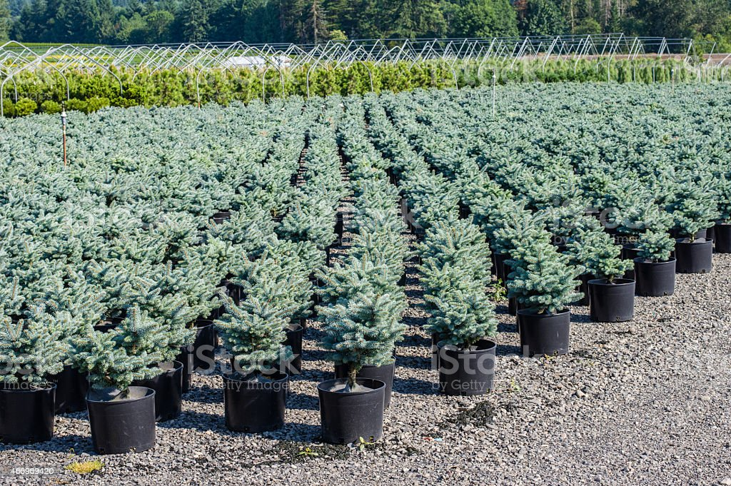 Rows of potted nursery plants stock photo