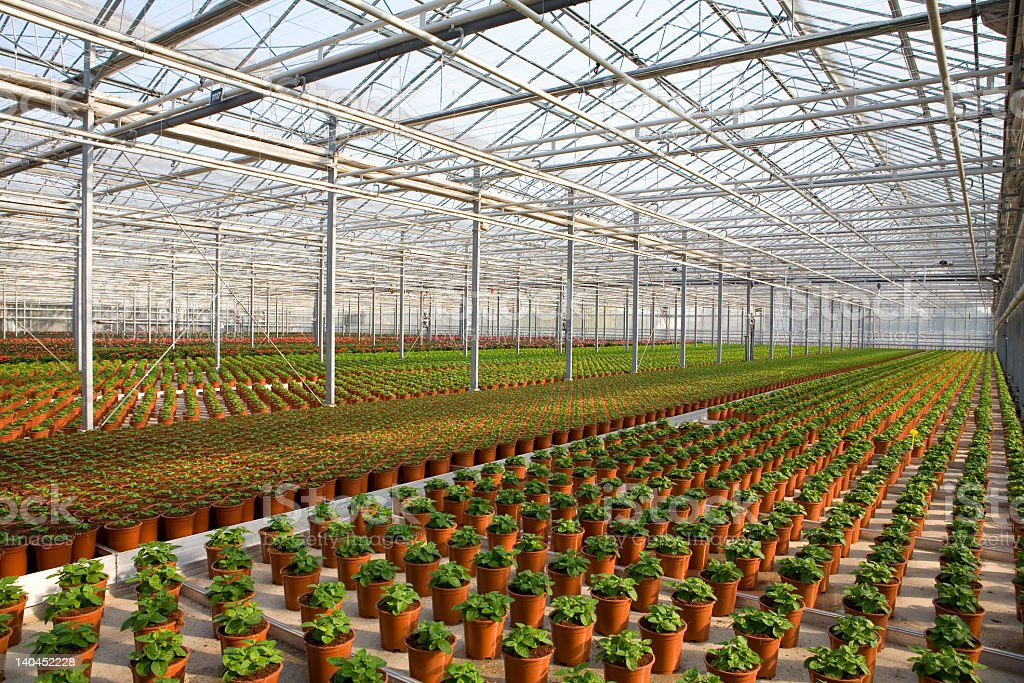 Rows of potted plants in a large scale greenhouse stock photo