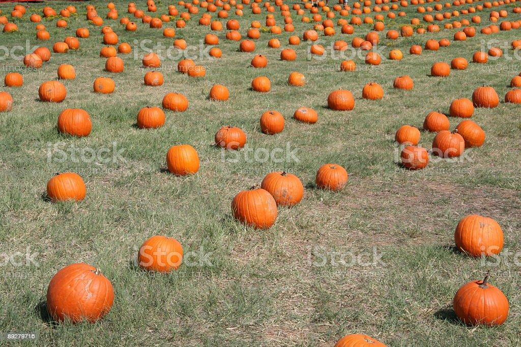 Rows of Pumpkins royalty-free stock photo
