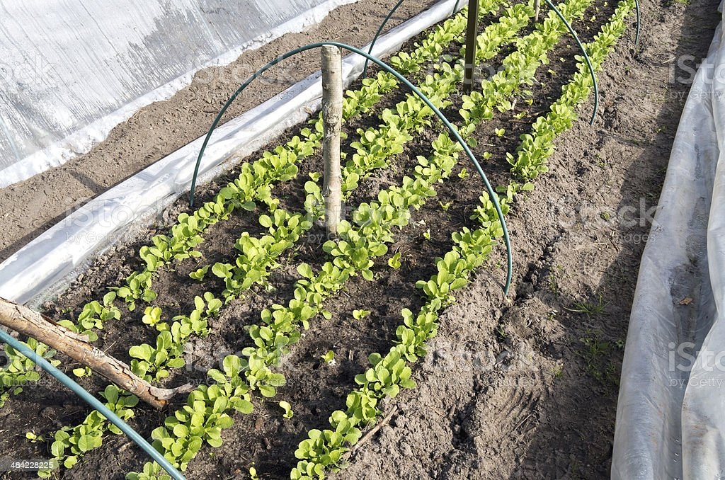 Rows of radishes and lettuce. stock photo