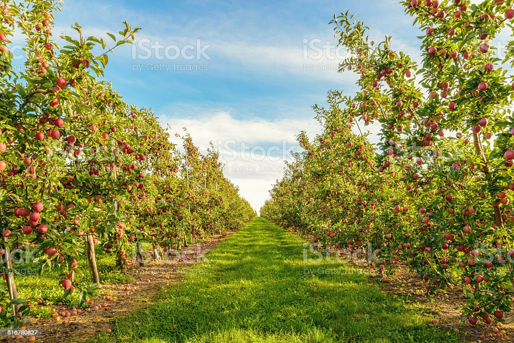 Rows of red apple trees stock photo