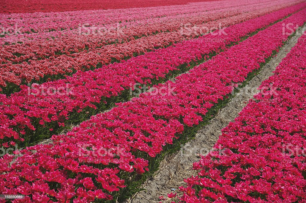 Rows of red flowers royalty-free stock photo