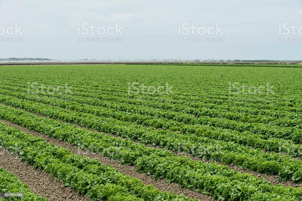 Rows of Romaine Lettuce Growing on a California Coastal Farm stock photo