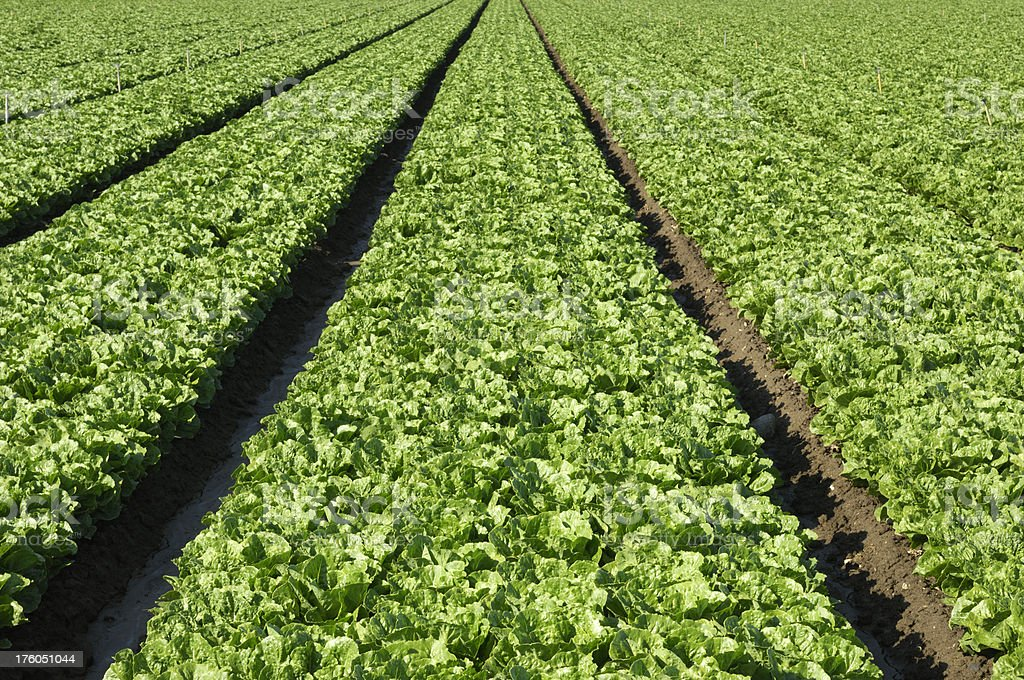 Rows of Romaine Lettuce Growing on Farm royalty-free stock photo