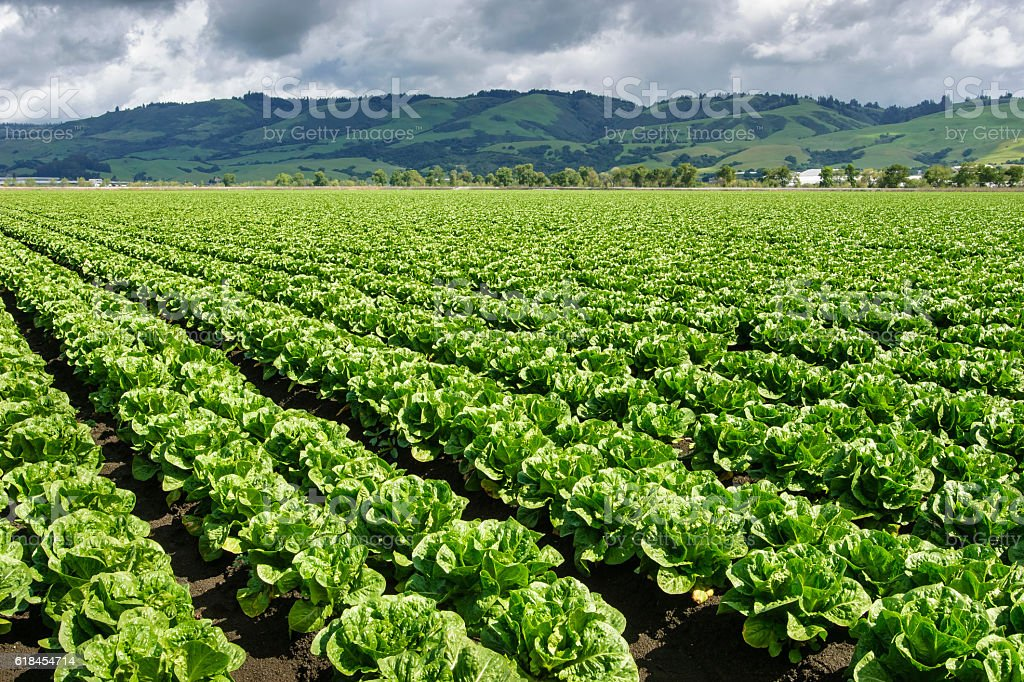 Rows of Romaine Lettuce Growing on Farm stock photo