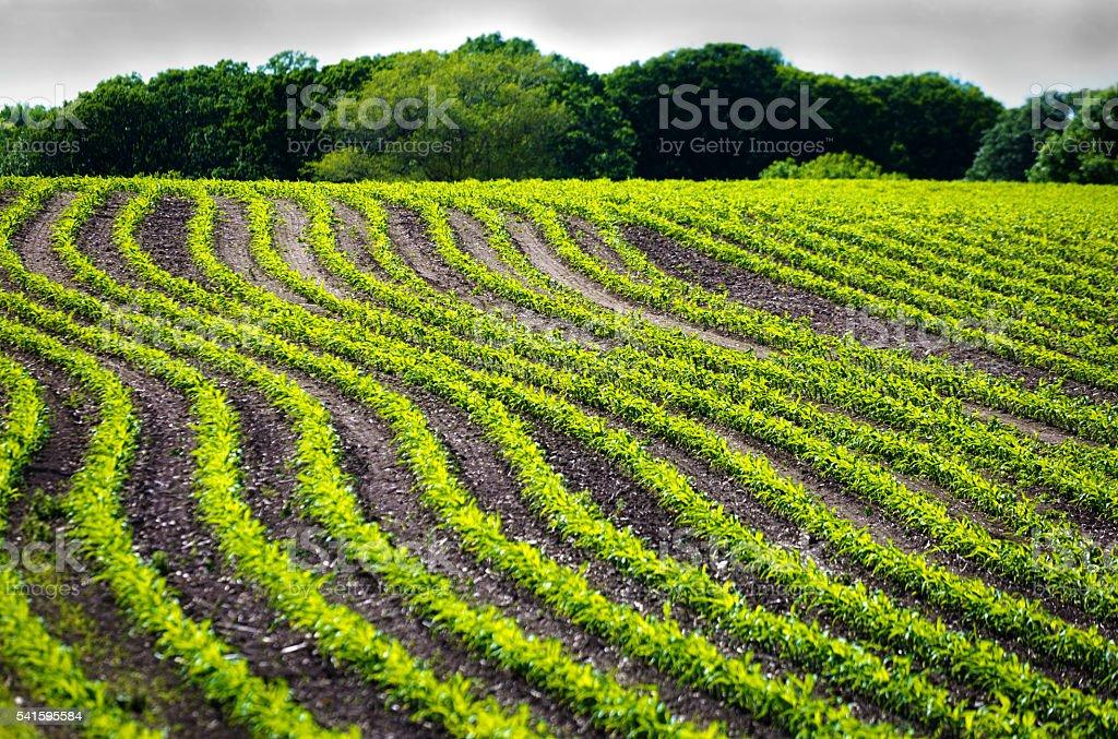 Rows of Seedling Corn Field Under Threatening Stormy Sky stock photo