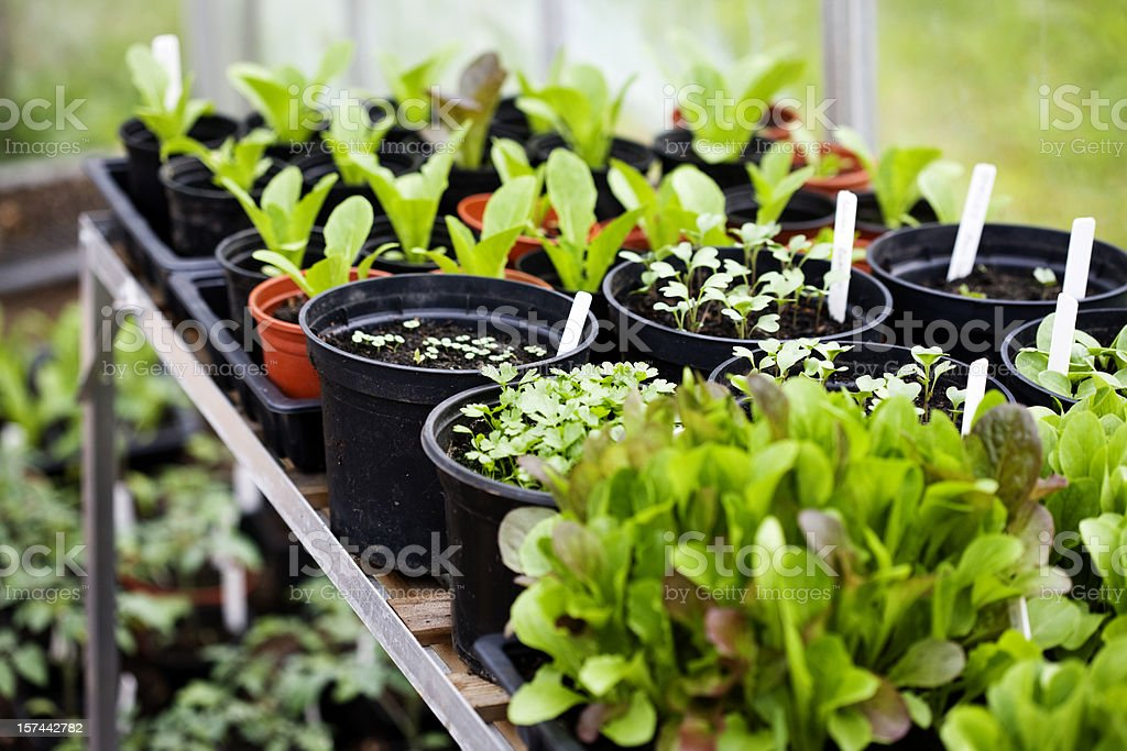 Rows of seedlings royalty-free stock photo