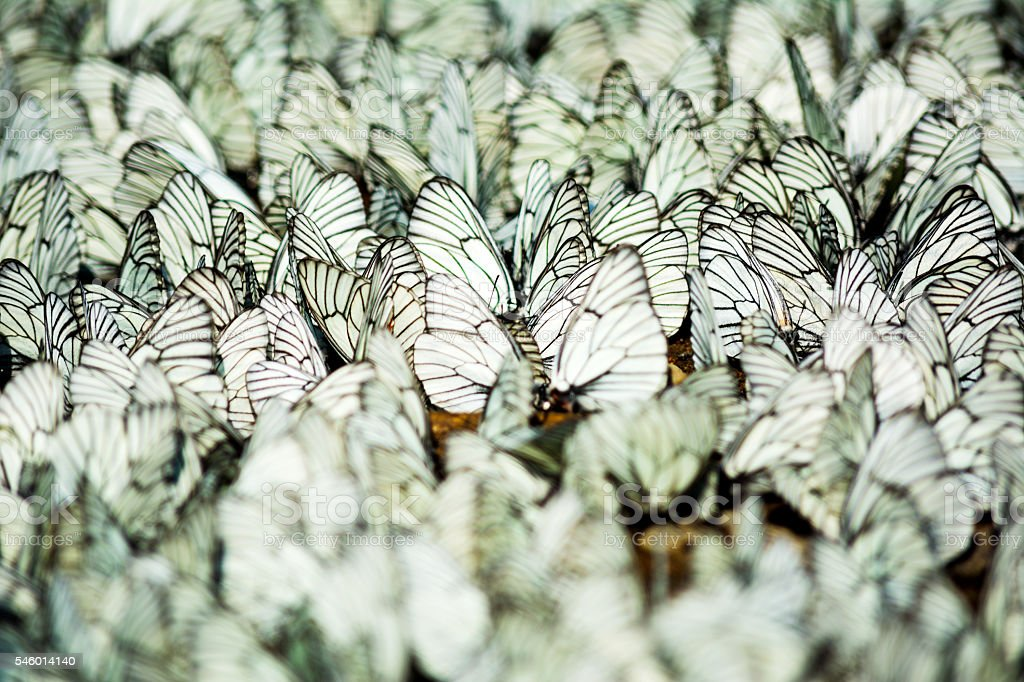 Rows of sitting white and black striped butterflies selective fo stock photo