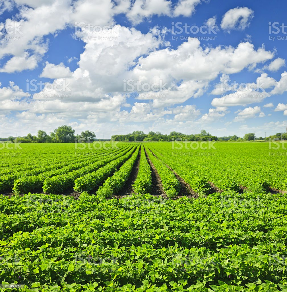 Rows of soy plants in a field royalty-free stock photo