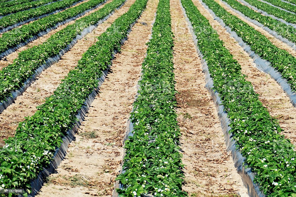 Rows of strawberry plants growing in springtime, Belgium stock photo