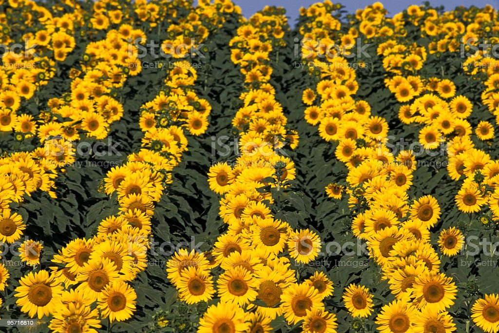 Rows of Sun royalty-free stock photo