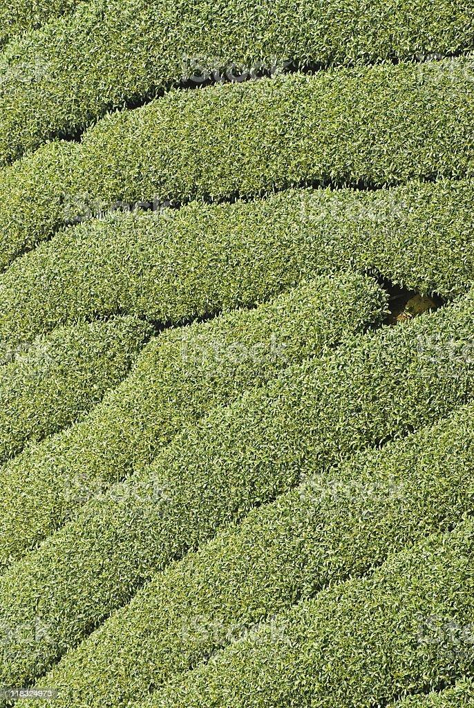 Rows of tea tree royalty-free stock photo