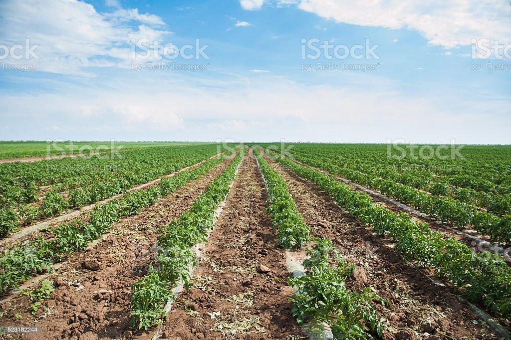 Rows of tomato plants stock photo