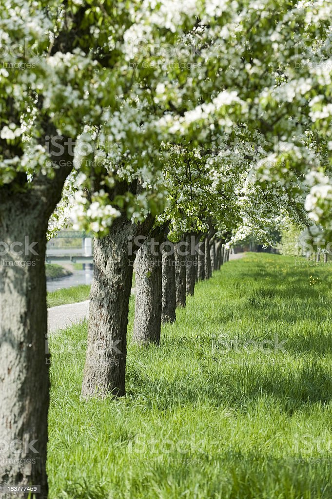 Rows of trees in spring stock photo