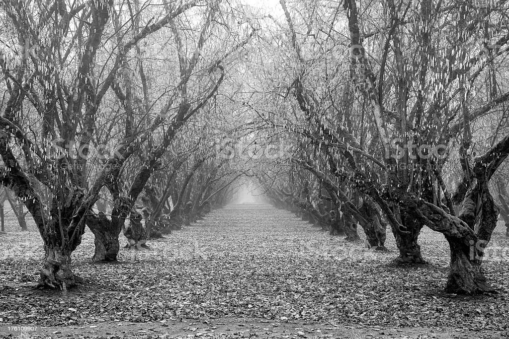 Rows of trees surrounded by fallen leaves in late Autumn royalty-free stock photo