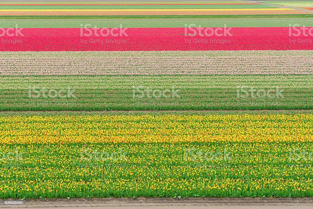 Rows of tulip flowers stock photo