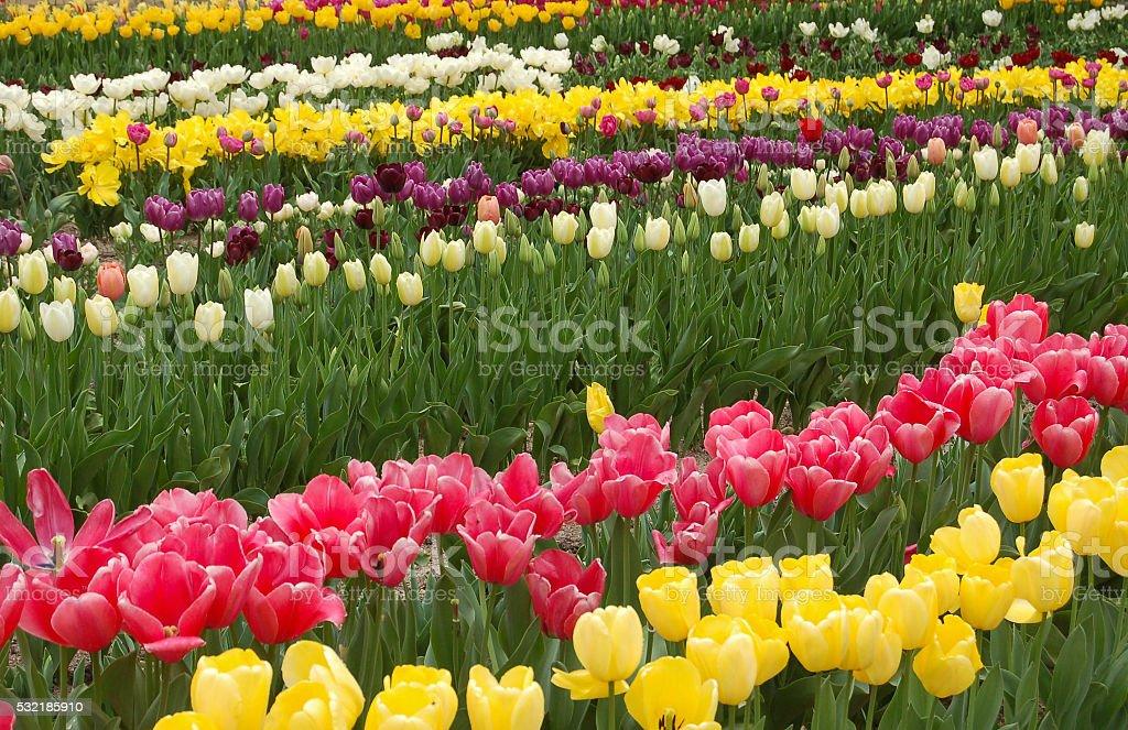 Rows of tulips stock photo