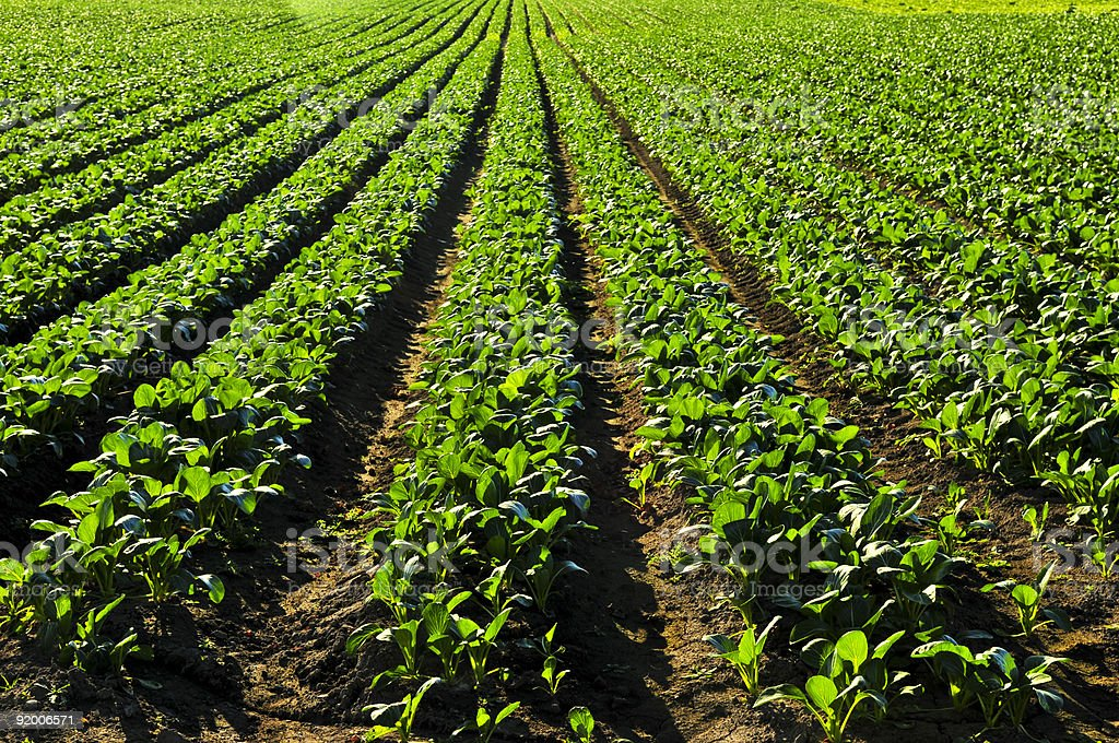 Rows of turnip plants in a field royalty-free stock photo
