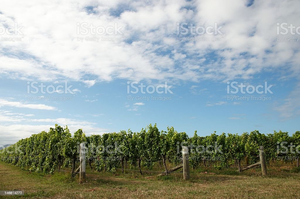 Rows of vines on a summers day stock photo
