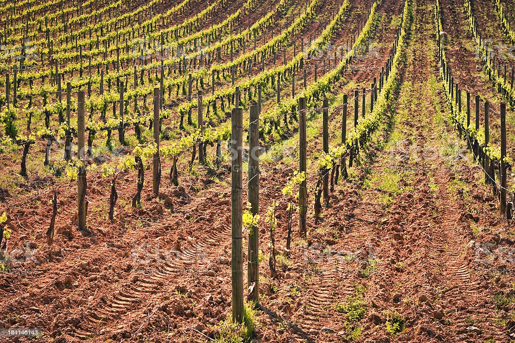 Rows of Vines on Terrain just Plowed, Tuscan Wine Processing stock photo
