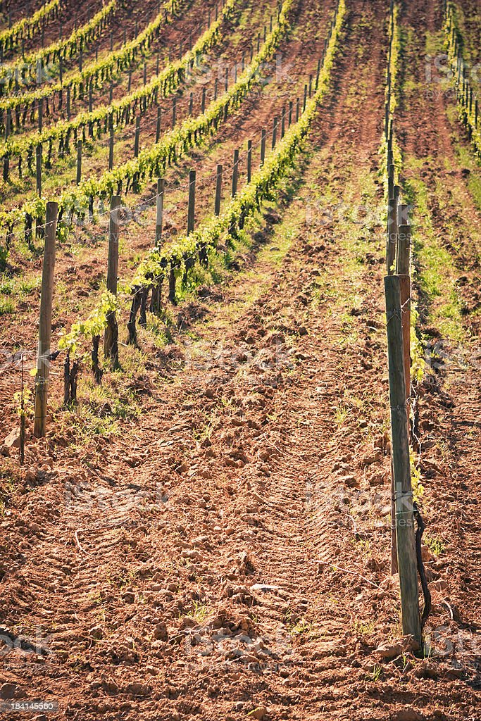 Rows of Vines on Terrain just Plowed with Tire Tracks stock photo
