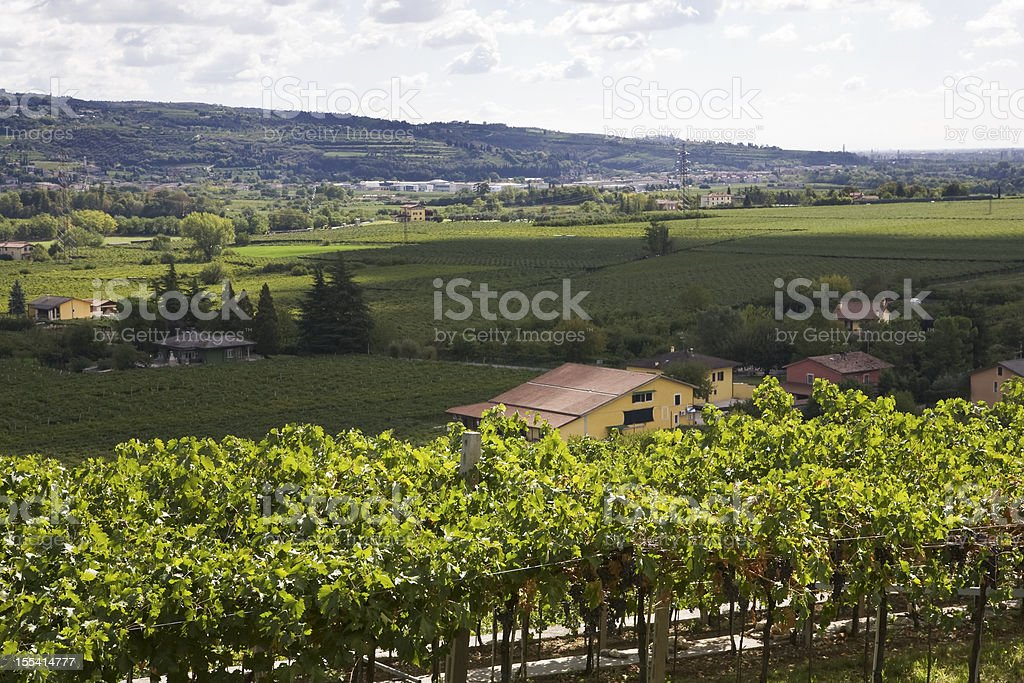 rows of vines with grapes royalty-free stock photo