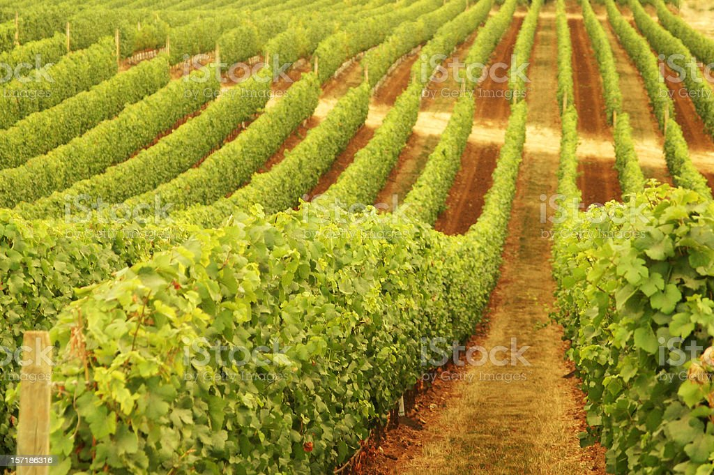 Rows of Vineyard Grapevines Following Rolling Hillside Contours royalty-free stock photo