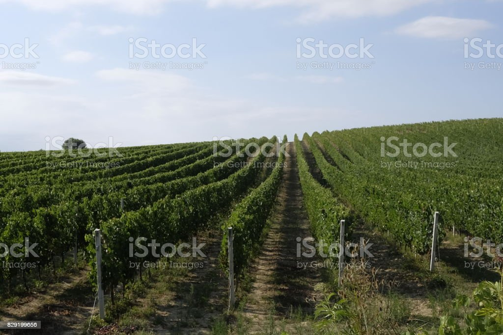 Rows of vineyards in abruzzo stock photo