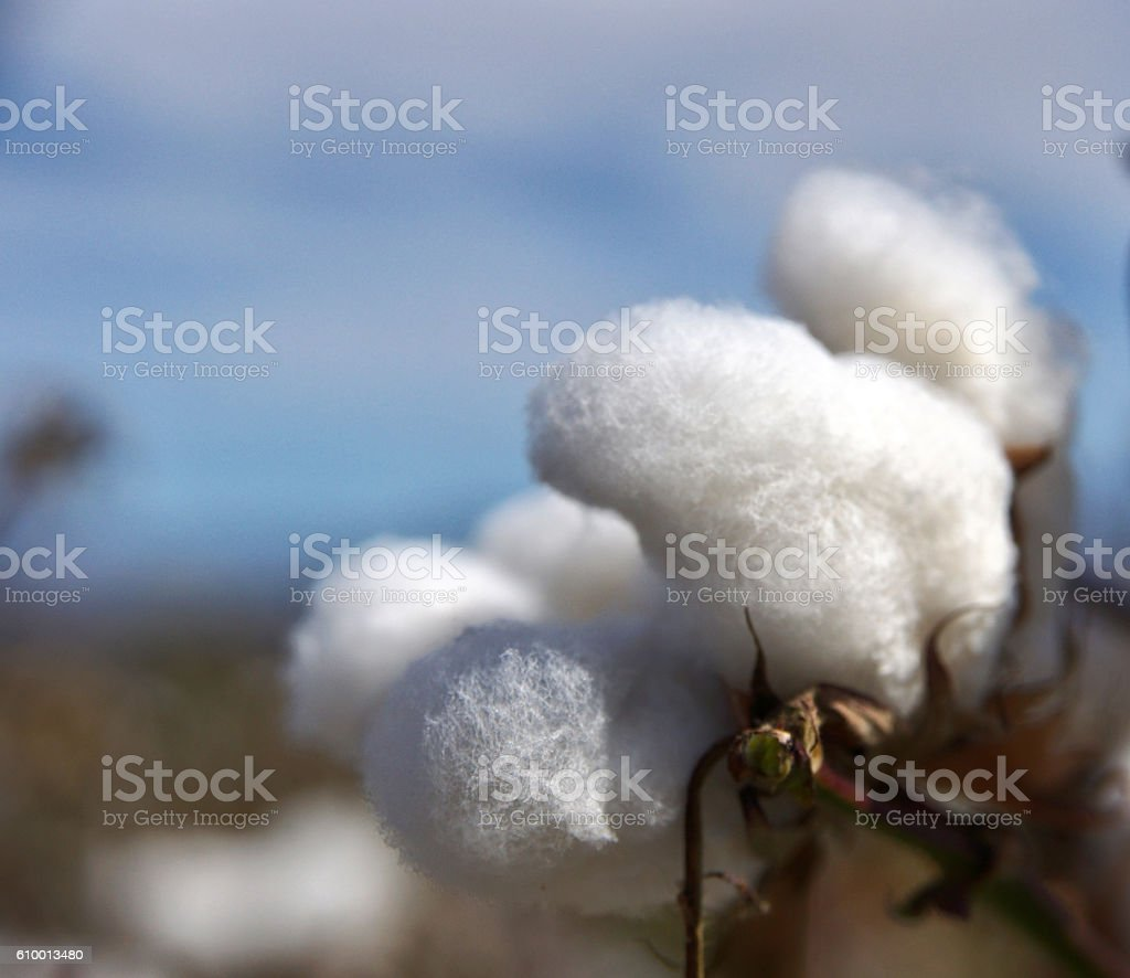 rows of white ripe cotton in field stock photo