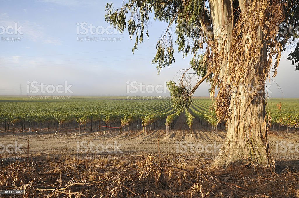 Rows of wine grapes by eucalyptus tree royalty-free stock photo