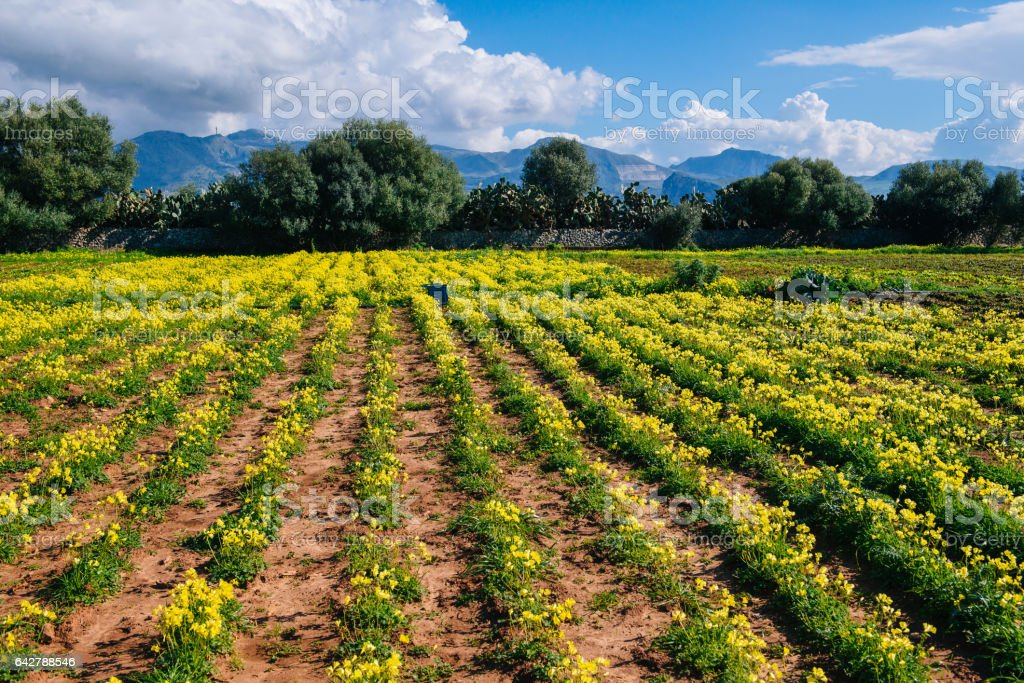 rows of yellow flowers stock photo