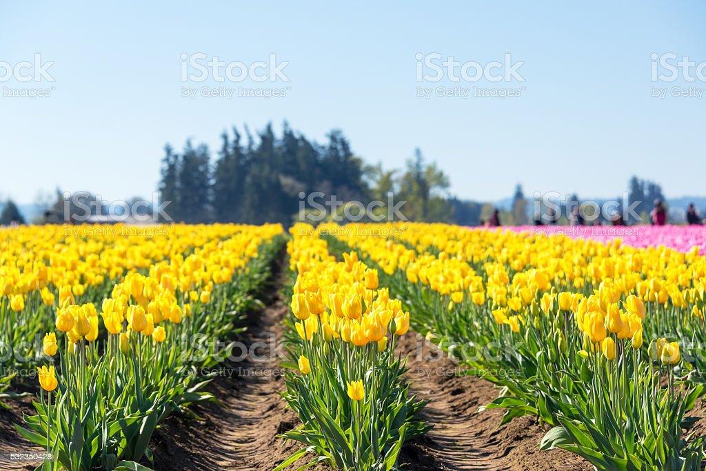 Rows of Yellow Tulips stock photo