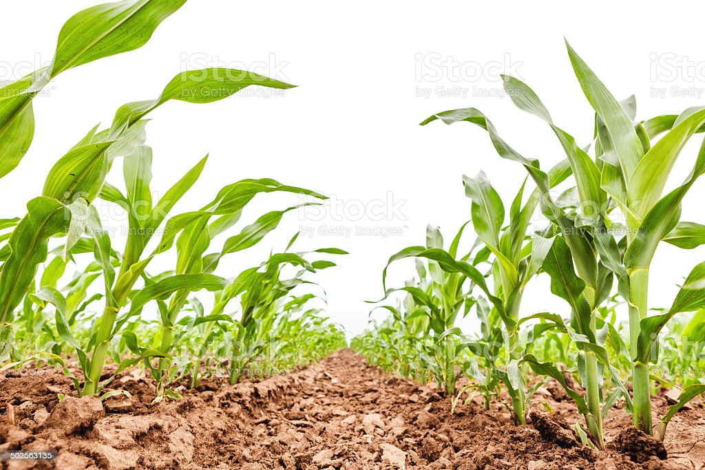Rows of young corn stock photo