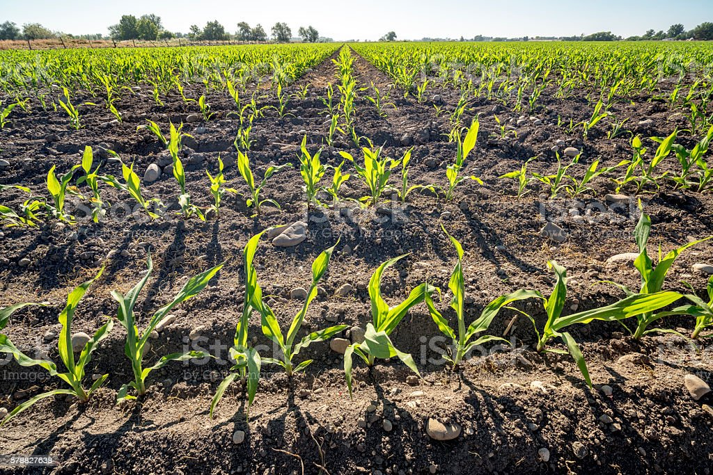 Rows of young corn planted on an Idaho farm stock photo