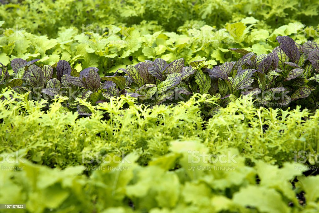 Rows of Young, Fresh Mustard Greens royalty-free stock photo