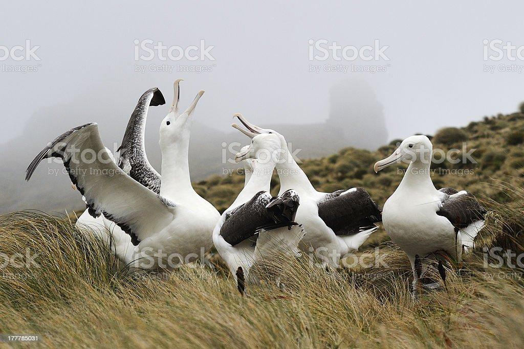 Royal Albatross display stock photo