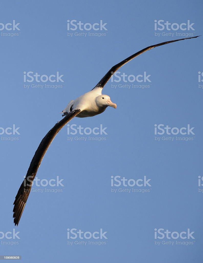 royal albatross in flight stock photo