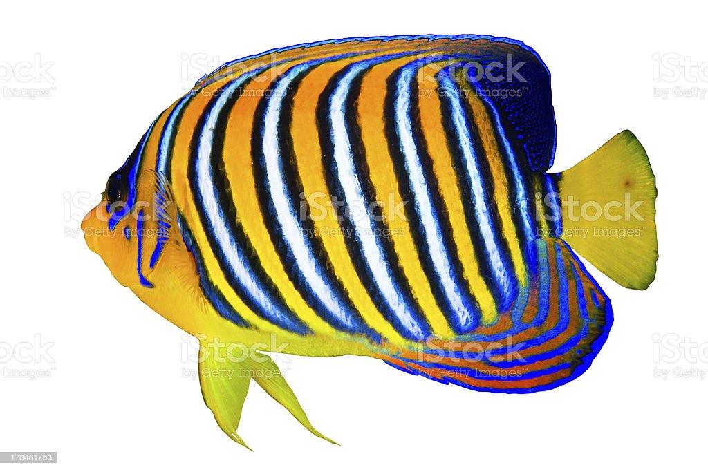 Royal angelfish stock photo