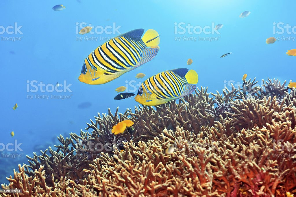 Royal angelfishes royalty-free stock photo