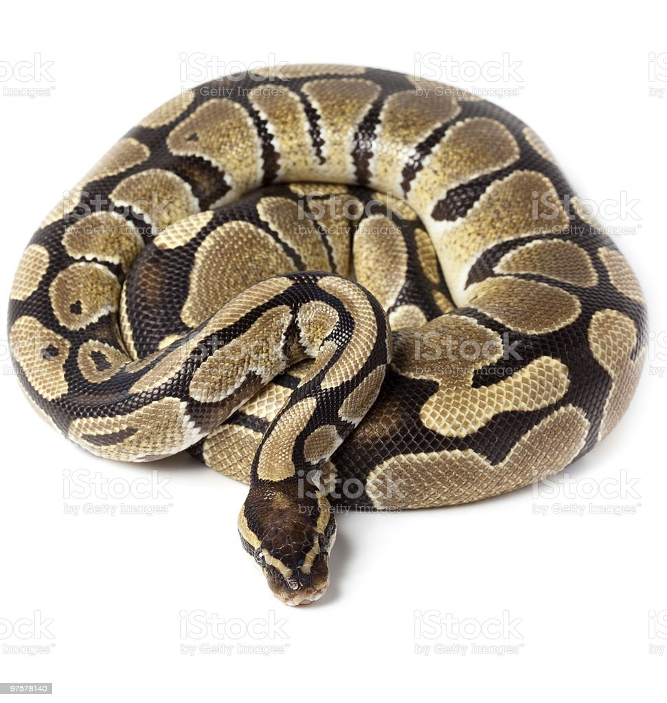 Royal, Ball Python stock photo