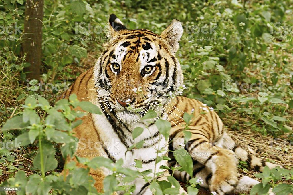 Royal Bengal Tiger India stock photo