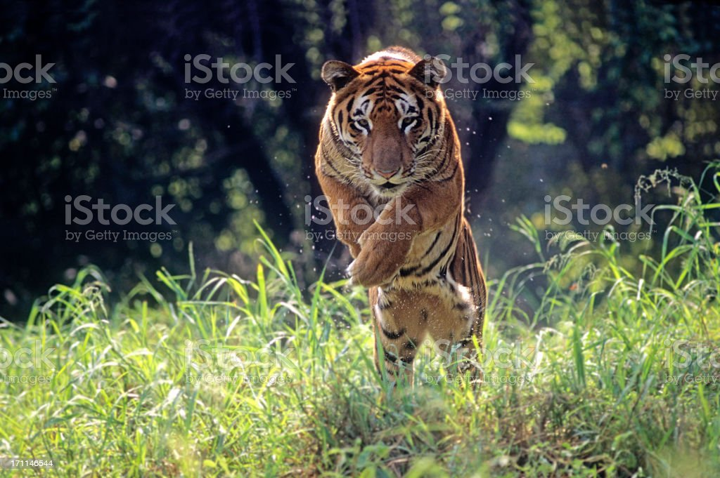 Royal Bengal Tiger jumping through long green grass stock photo