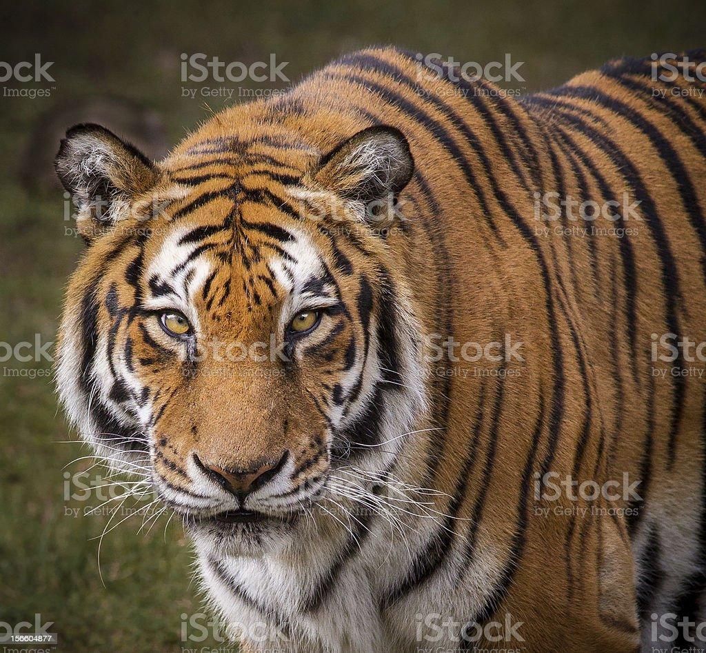 Royal bengal Tiger royalty-free stock photo