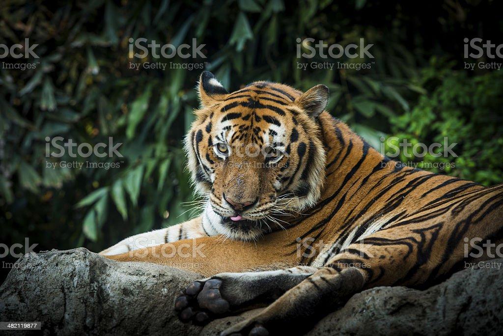 Royal Bengal tiger. stock photo
