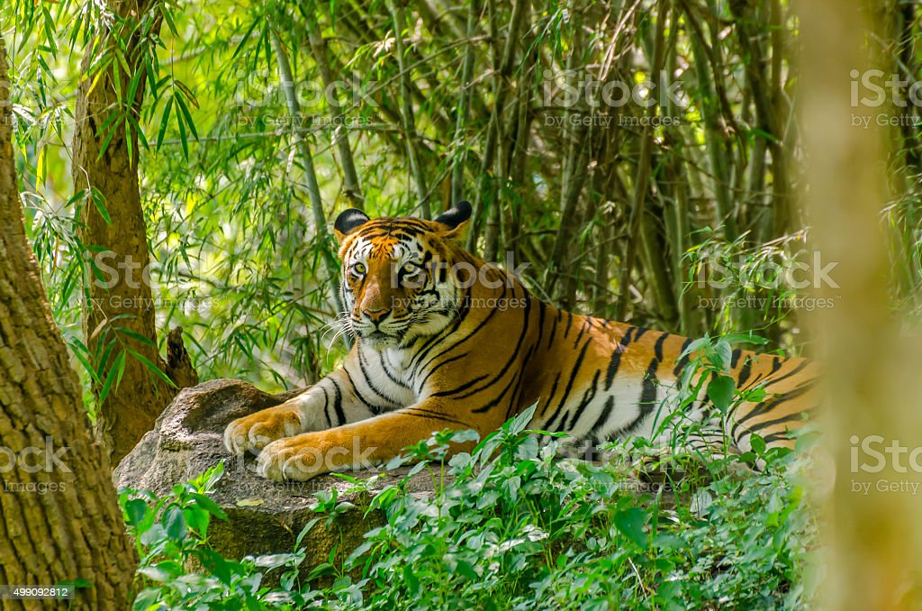 Royal Bengal tiger (Panthera tigris tigris) stock photo
