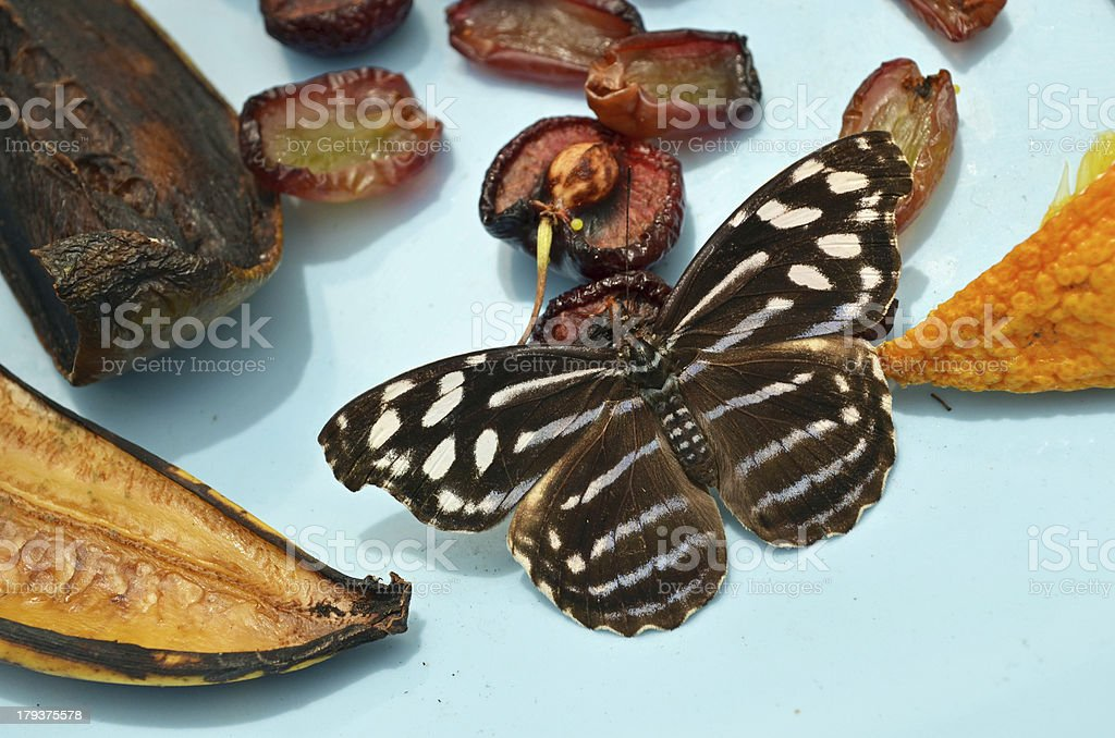 Royal Blue Butterfly on Fruit Plate royalty-free stock photo