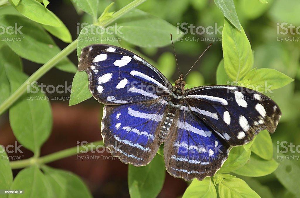Royal Blue Butterfly stock photo